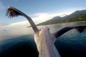 Il pellicano impara a volare