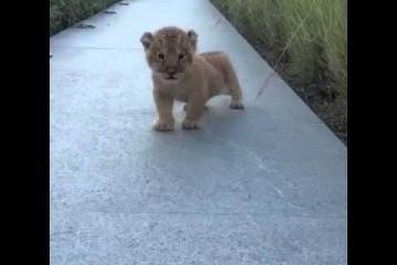 Il leoncino prova a ruggire, il risultato è tenerissimo