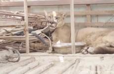 Il Puma Mufasa liberato dal Circo