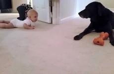 Bimba Gattona: la tenera Reazione del Labrador