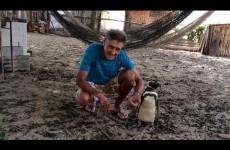 Pinguino Nuota 8mila KM per ritrovare l'Uomo che l'ha Salvato