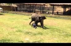 Un Uomo ha bisogno di Aiuto: la Reazione dell'Elefante è da Brividi