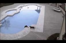 Gatto vede un suo Simile sul bordo della Piscina e…