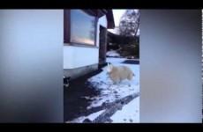 Pet, l'agnellino che crede di essere un cane