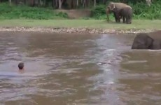 L'elefantino si tuffa nel fiume per salvare un uomo